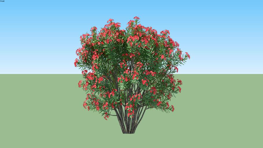 Nerium Oleander Red Bunga Jepun 3d Warehouse