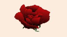Roses ─ Rosa ─ Rosaceae ─ Roos