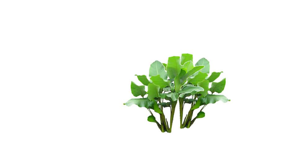 Plant - Calathea Lutea