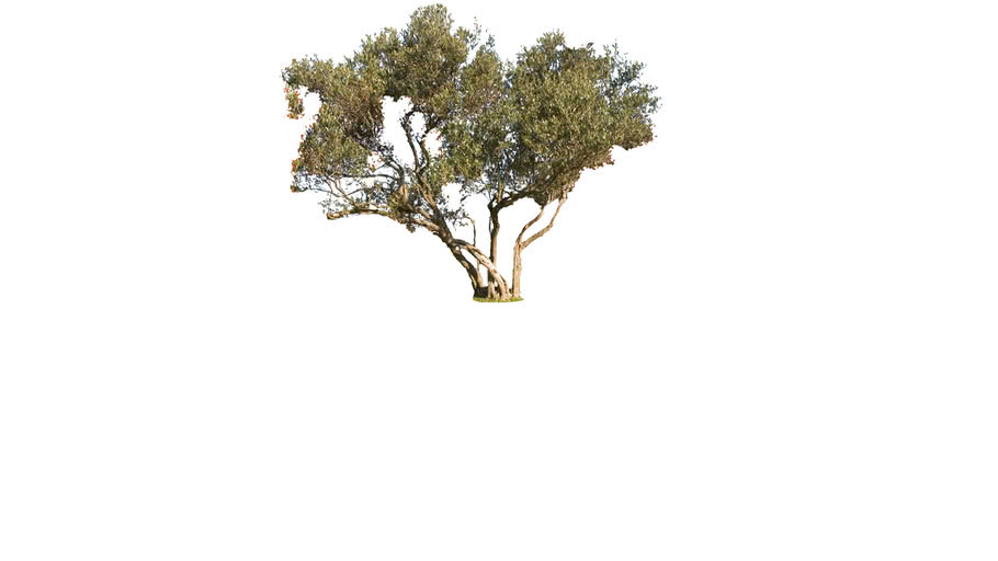 Olive Tree 3d Warehouse