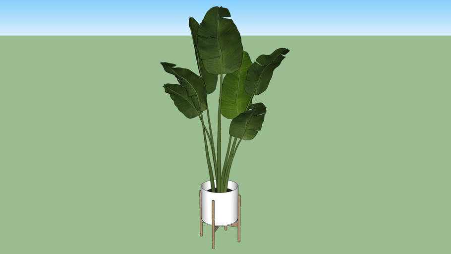 banana plant in a pot