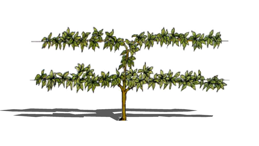 Land F X Shrubs Vines And Espalier Cordon Fruit Tree 3d