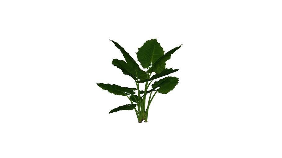 MT_PM_Alocasia_macrorrhiza_01_06