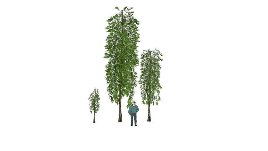 tree 3D ต้นอโศกอินเดีย
