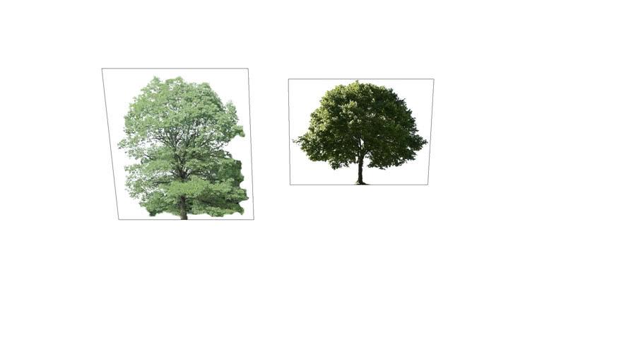 White Oak and buckeye