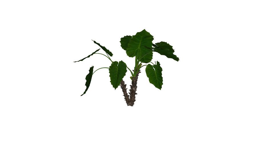 MT_PM_Alocasia_macrorrhiza_01_03