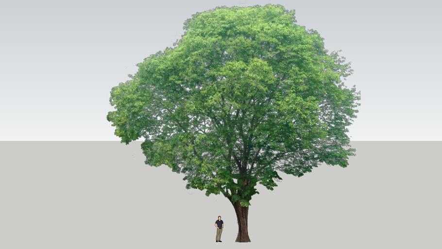 Rosewood Tree / Pterocarpus Indicus / Pohon Angsana