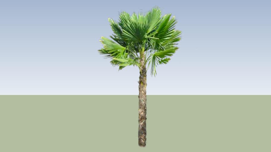 Windmill Large Palm Tree