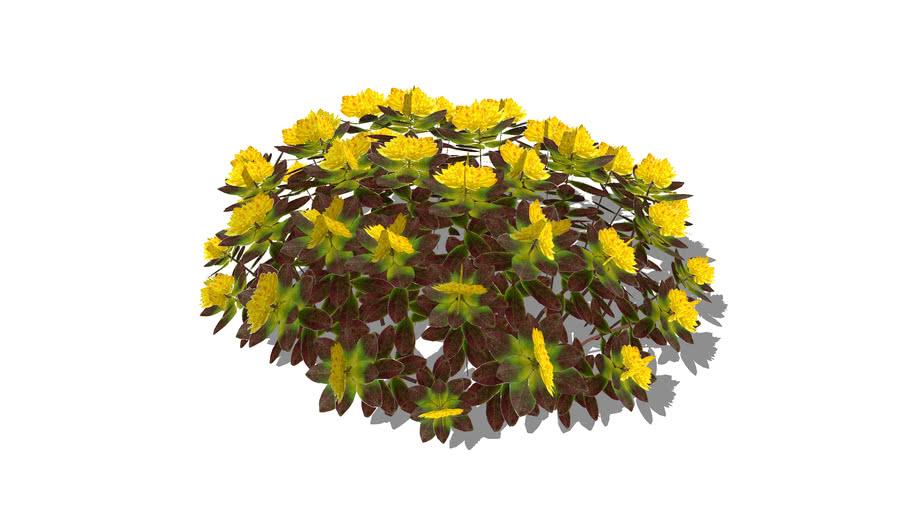 Euphorbia poly Bonfire