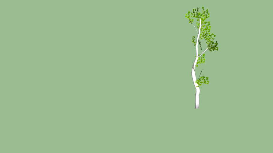 Birch Tree - Betula Papyrifera