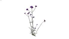 Herbaceas