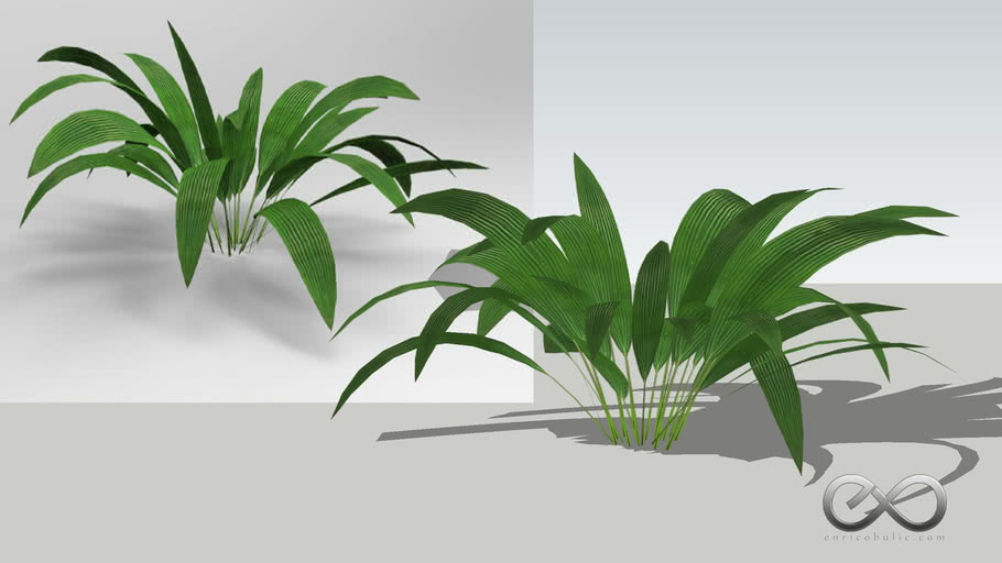 "Setaria Palmifolia ""Palm Grass"""