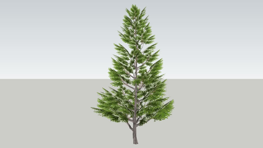 Spruce ( Epicéa)