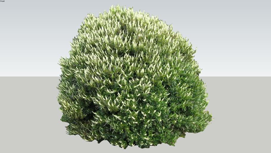 Clethera alnifolia