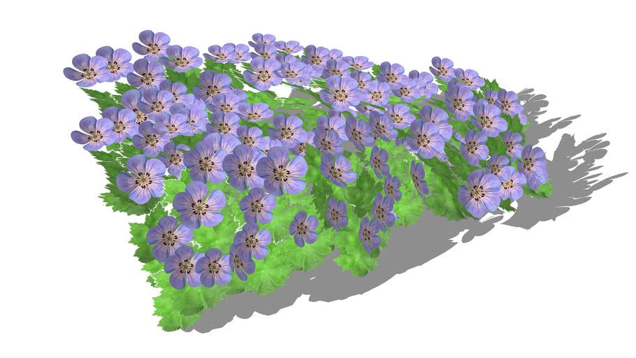 Geranium 'Azure Rush' - Ooievaarsbek Cranesbill