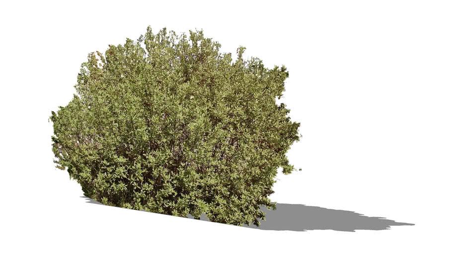 Cornus alba 'Elegantissimа'