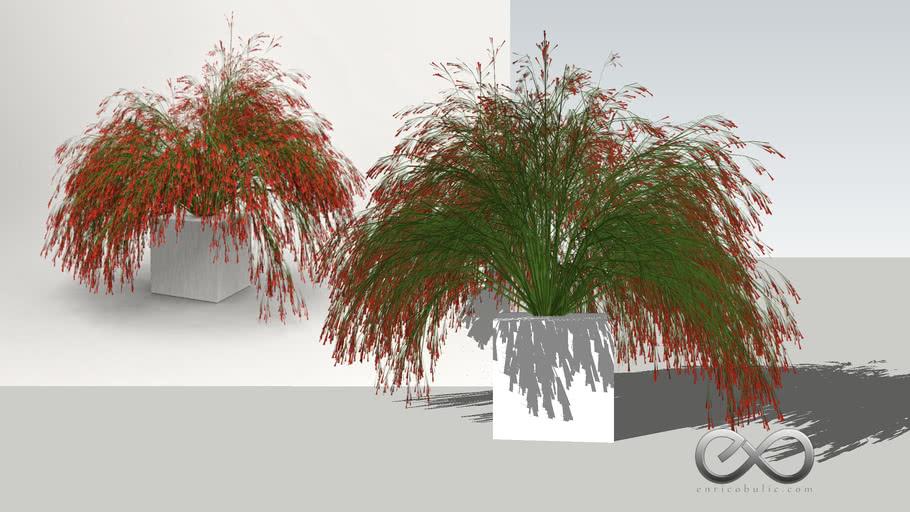 """Russelia Equisetiformis """"Coral Plant"""""""