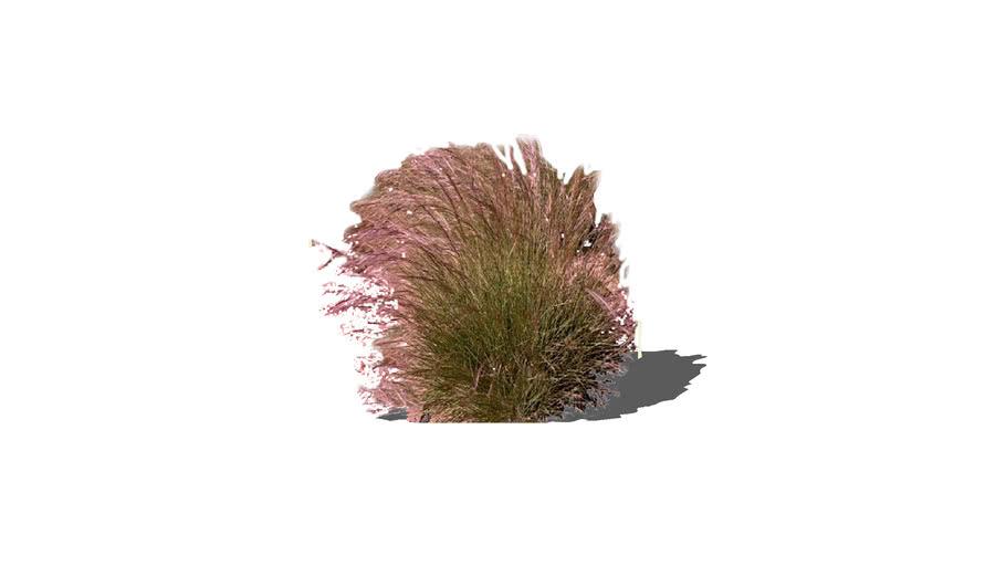 Aristida purpurea