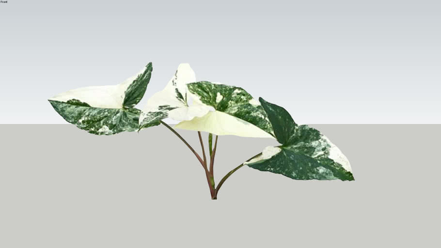 Syngonium Varigata