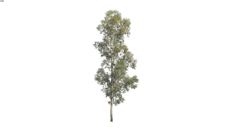 Corymbia maculata - 30m 2D Tree