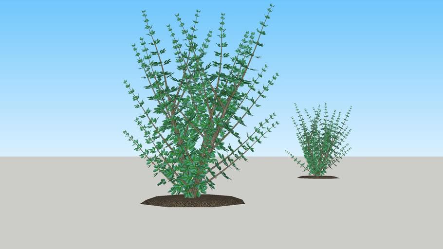 Elderberry Tree -- Sambucus nigra (Lat.) -- Vlier