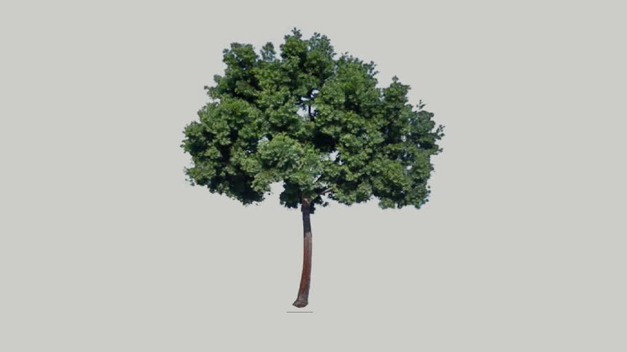Podocarpus Fern Pine 01