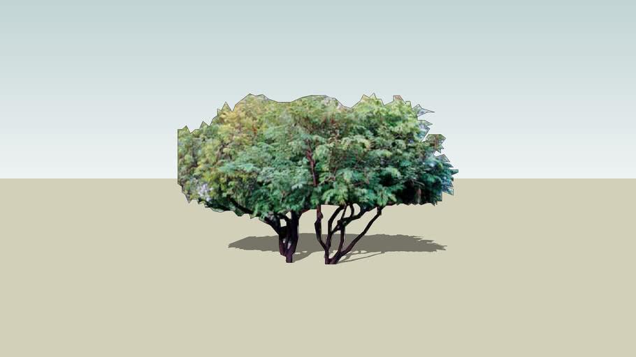 desert fern tree, lysiloma watsonii