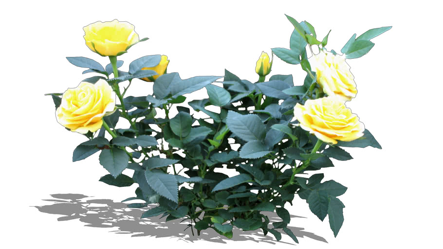Rose yellow- Róża