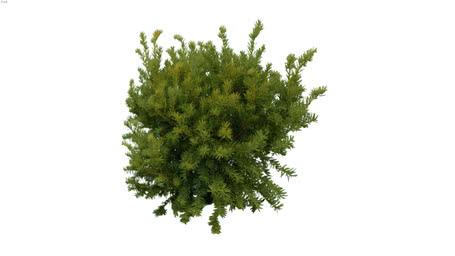 Shrubs-Pine0