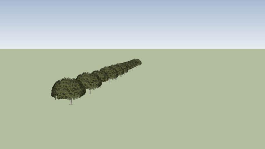 Oak tree row