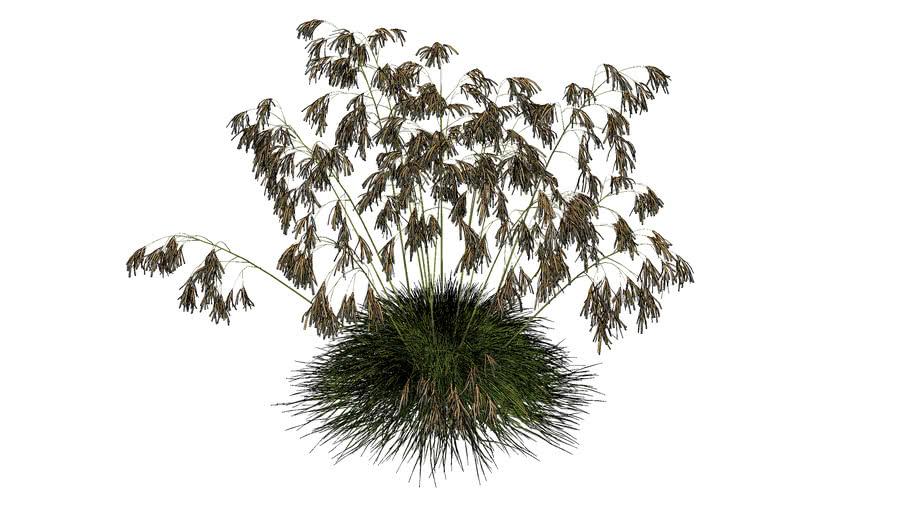 3d grass stipa gigantea 03