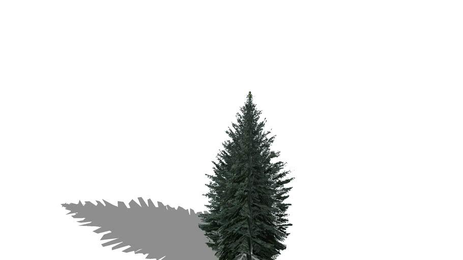 Big Blue Spruce