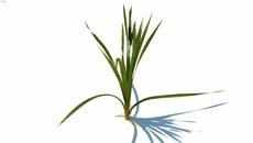 plantas basileiras
