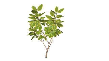Ficus Cahoutchou 3D