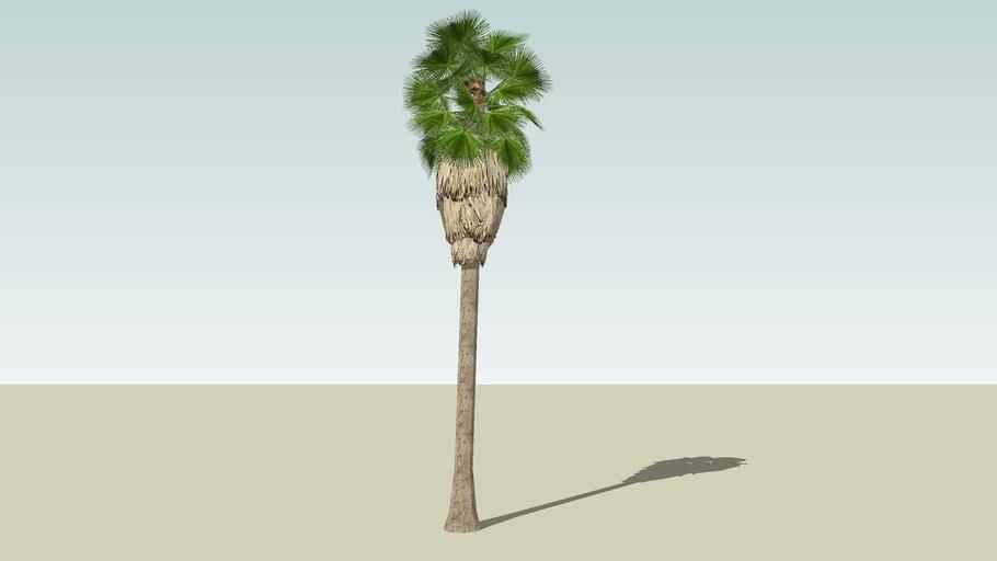 Washingtonian Palm  (mature)