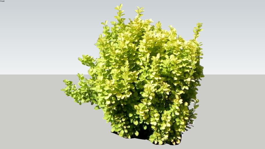 Barberry 2