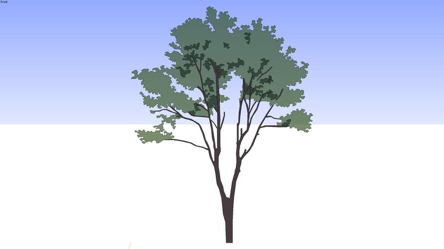 12米的绿树