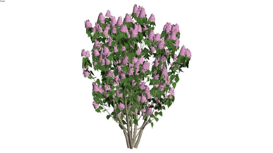 LIlac - light variety (Syringa vulgaris)