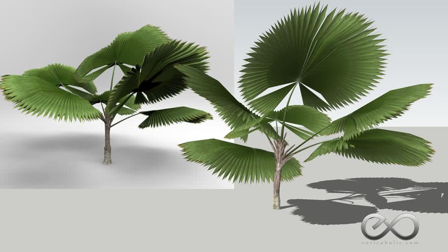 "Licuala Grandis ""Giant Fan Palm"""