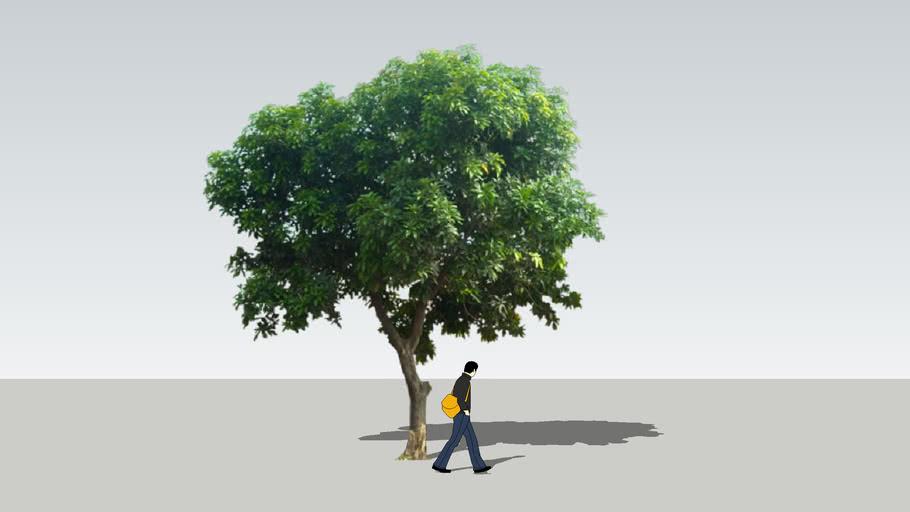 GY mango tree