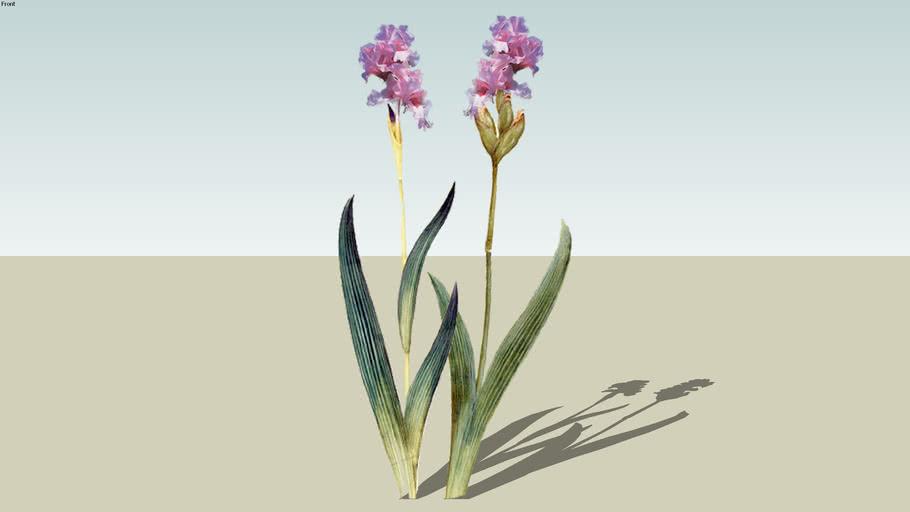 Iris Pink (LP)