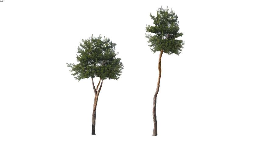 Pinus sylvestris | Sosna zwyczajna | Garden