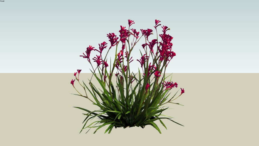 Anigozanthos bush red