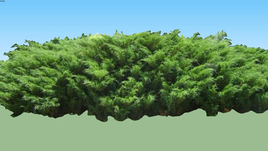 Juniperus sabina 'Mas'