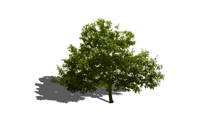 Castaño ( chestnut tree )