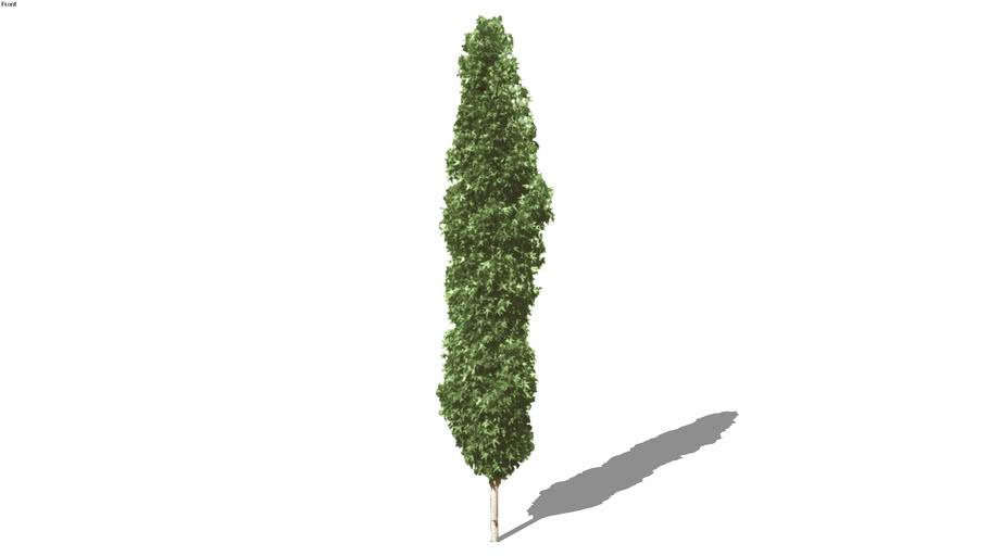 Sweetgum Tree 2D