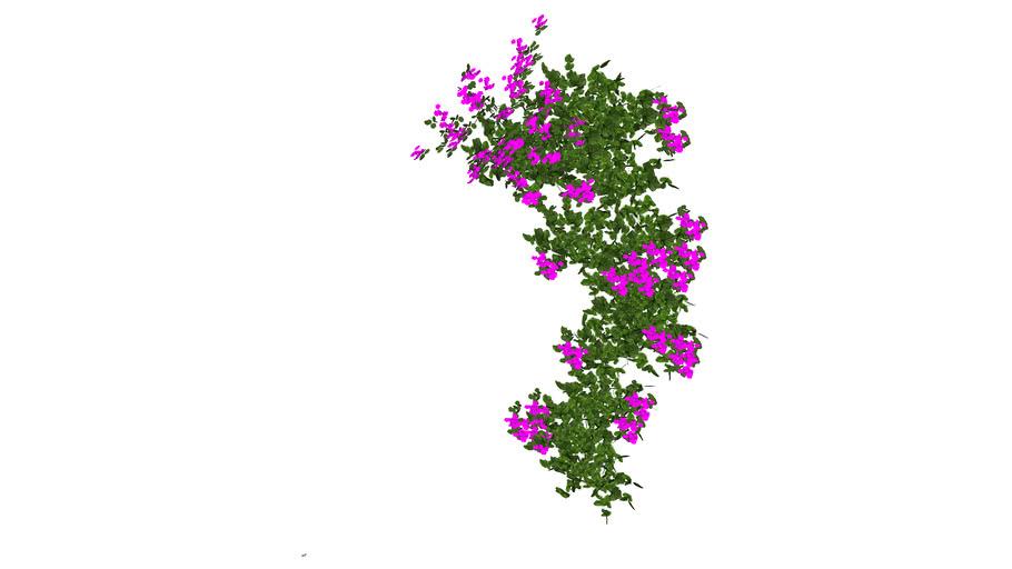 Plant_Bougainvillaea_1