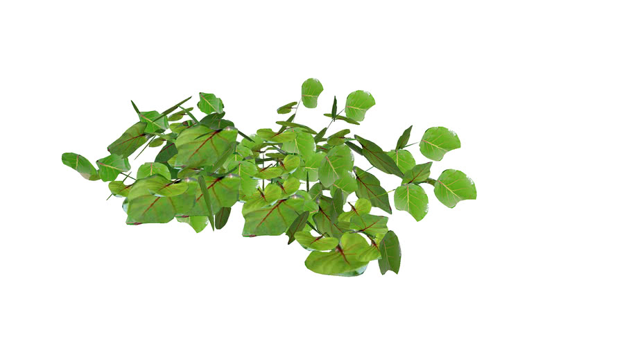 Sea Grape, Uva Playera,